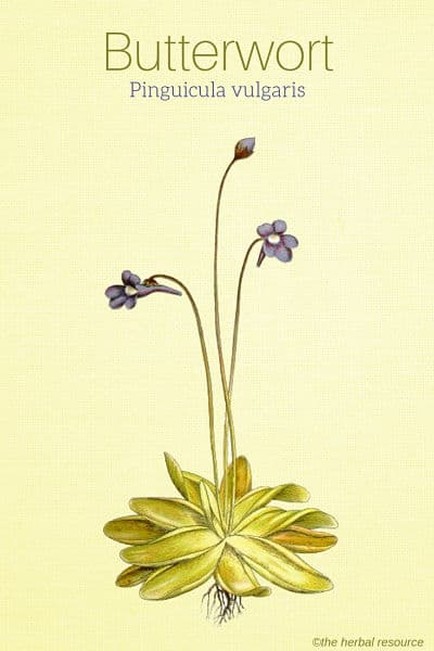 Butterwort (Pinguicula vulgaris)